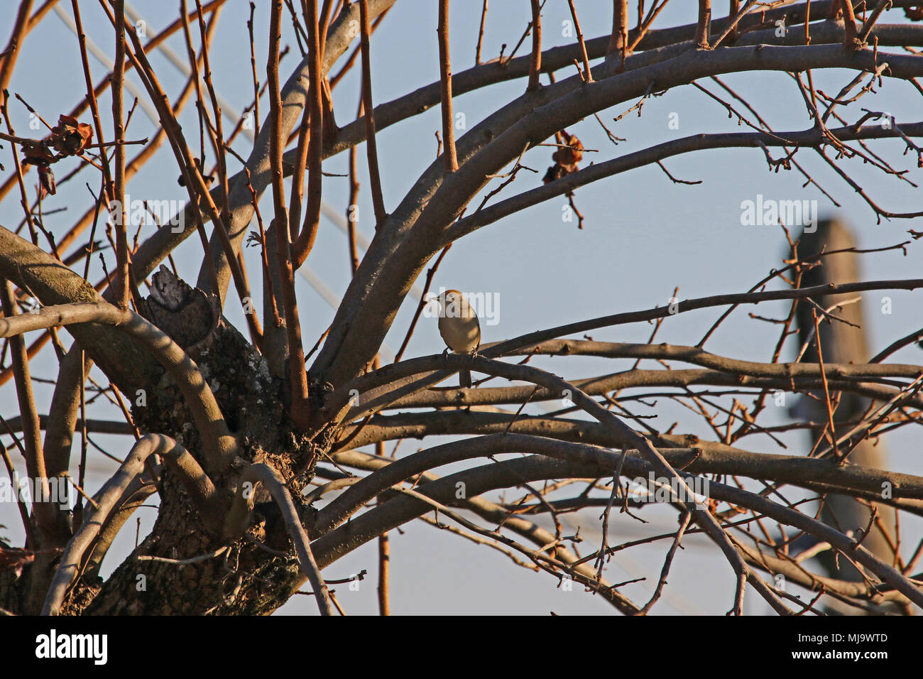 female blackcap with brown cap Latin sylvia atricapilla perched in a persimmon tree in Italy in winter - Stock Image