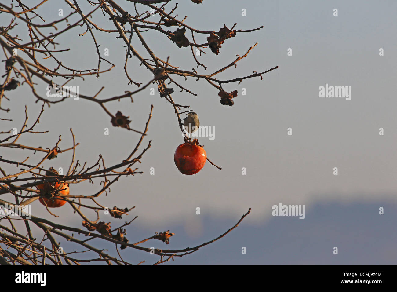male blackcap with black head Latin sylvia atricapilla feeding in a persimmon tree in Italy in winter - Stock Image