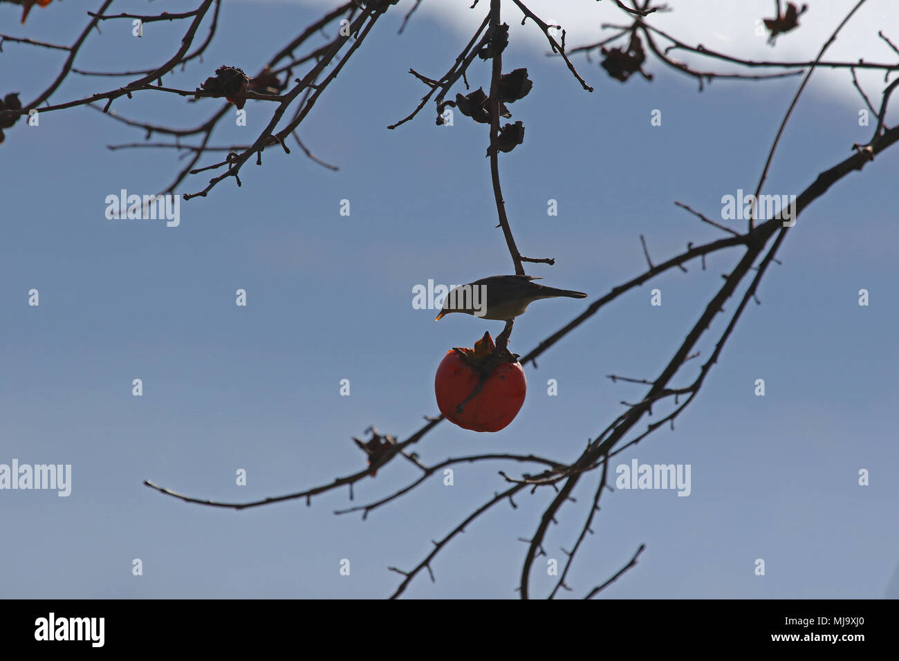 blackcap in silhouette with the light behind Latin sylvia atricapilla feeding in a persimmon tree in Italy in winter - Stock Image