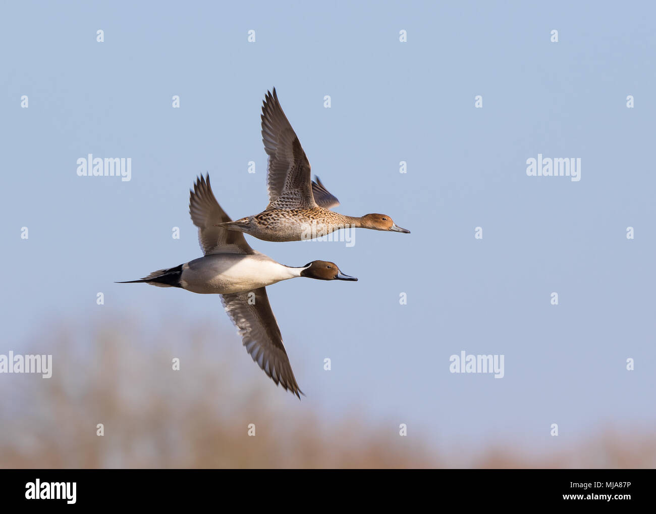 Landscape shot, pair of pintail ducks (Anas acuta) male & female, together in synchronized flight, necks extended. Heading right against sky backdrop. - Stock Image