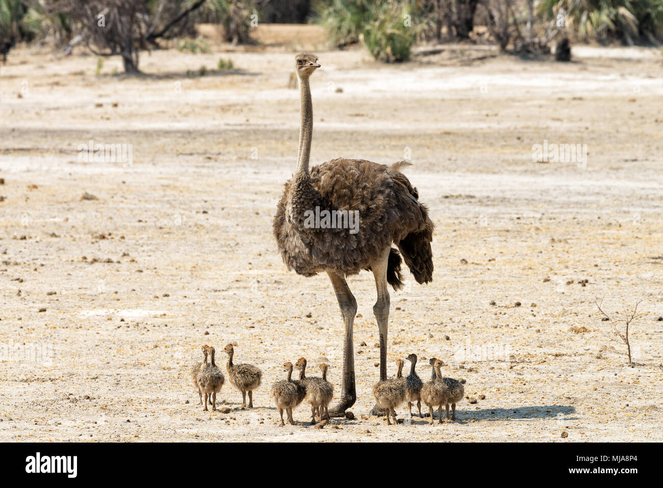 Female ostrich (Struthio camelus) with eleven chicks in the Mahango Game Reserve, Namibia - Stock Image