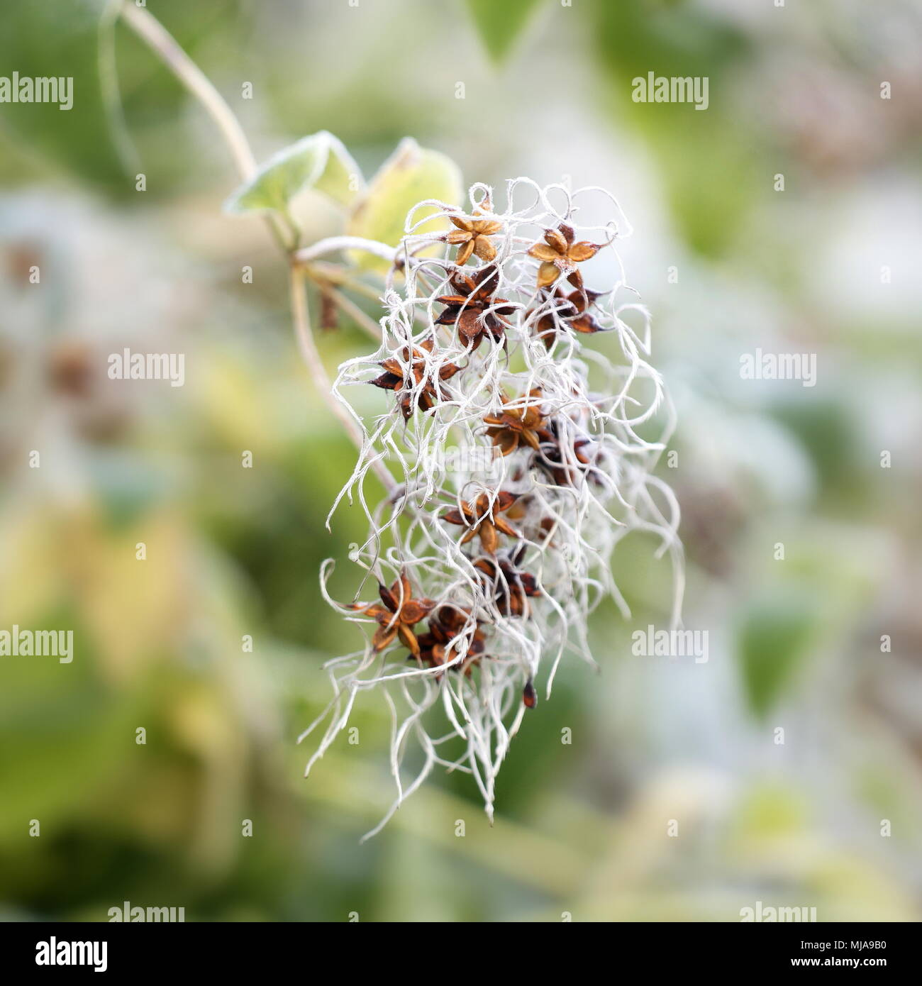 Old man's beard or traveller's joy, Clematis vitalba - Stock Image