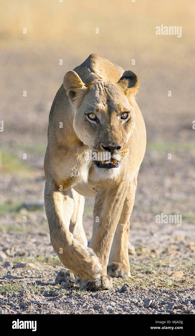 Portrait of lioness walking towards the camera in early morning light, Piper Pain , Central Kalahari Game Reserve , Botswana - Stock Image