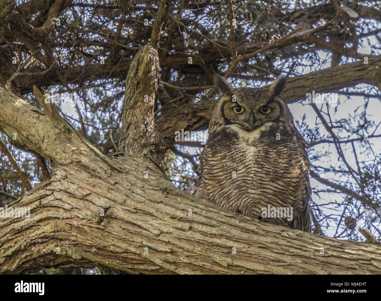 Coastal Great Horned Owl Adult Female Camouflaged. - Stock Image