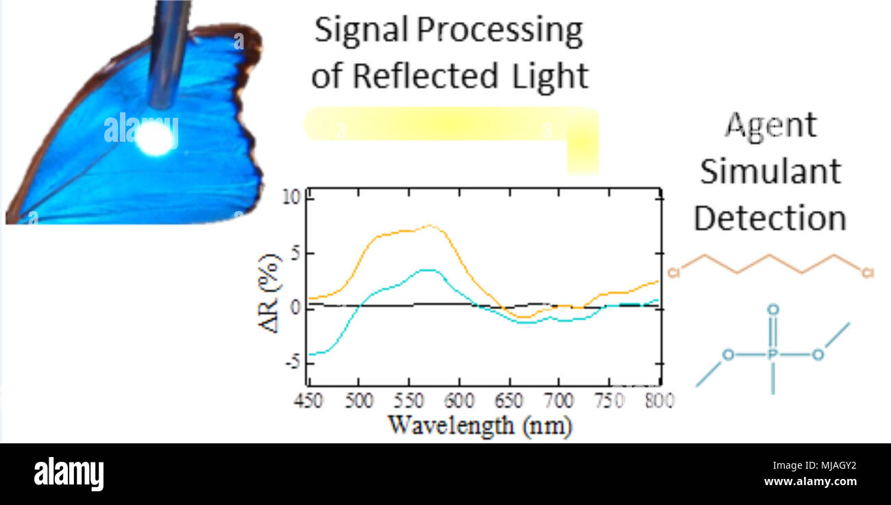 Notional image illustrating how light reflected from butterfly wing scales results in unique data when in the presence of different vapors. Experimental data is shown for dichloropentane (orange), a mustard gas simulant, and dimethyl methylphosphonate (blue), a sarin simulant - Stock Image