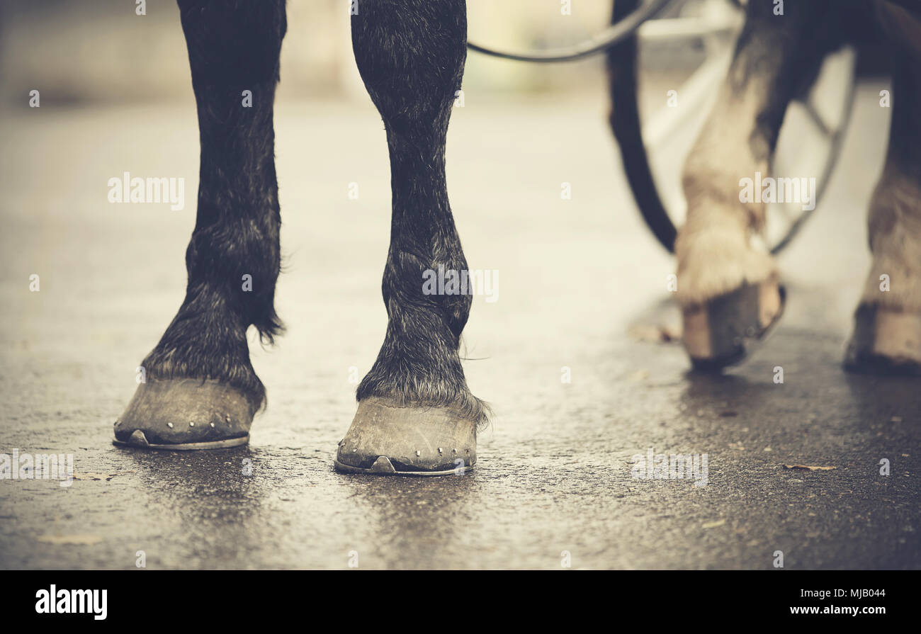 Horse-drawn transport. Legs of the horse harnessed in the carriage. - Stock Image