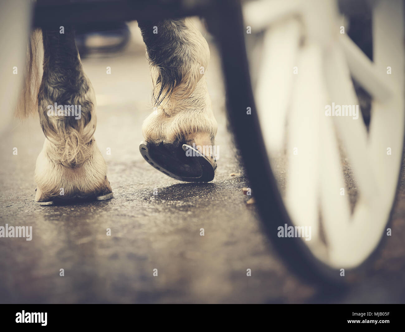 Horse-drawn transport. Hind hoofs with horseshoes of a harnessed horse, behind a white wheel of the carriage. - Stock Image