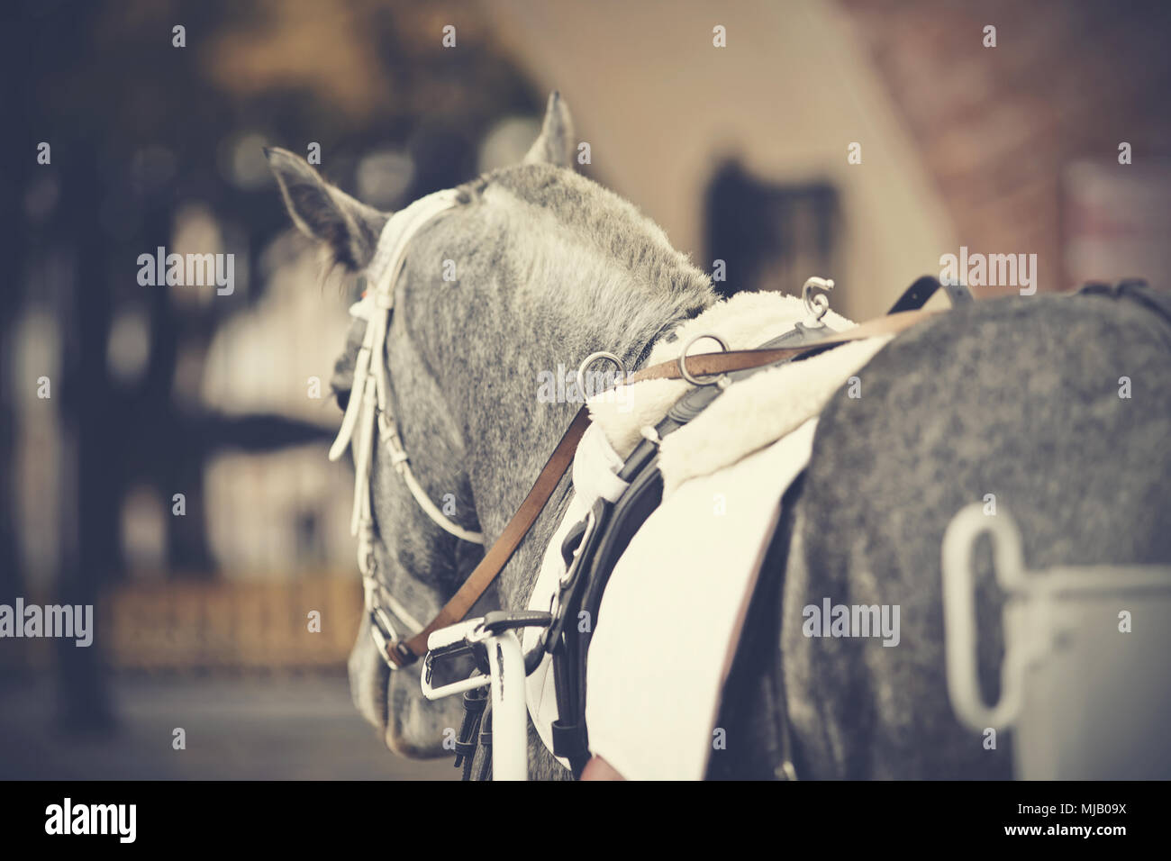 Horse-drawn transport.The back of the gray horse harnessed in the carriage - Stock Image