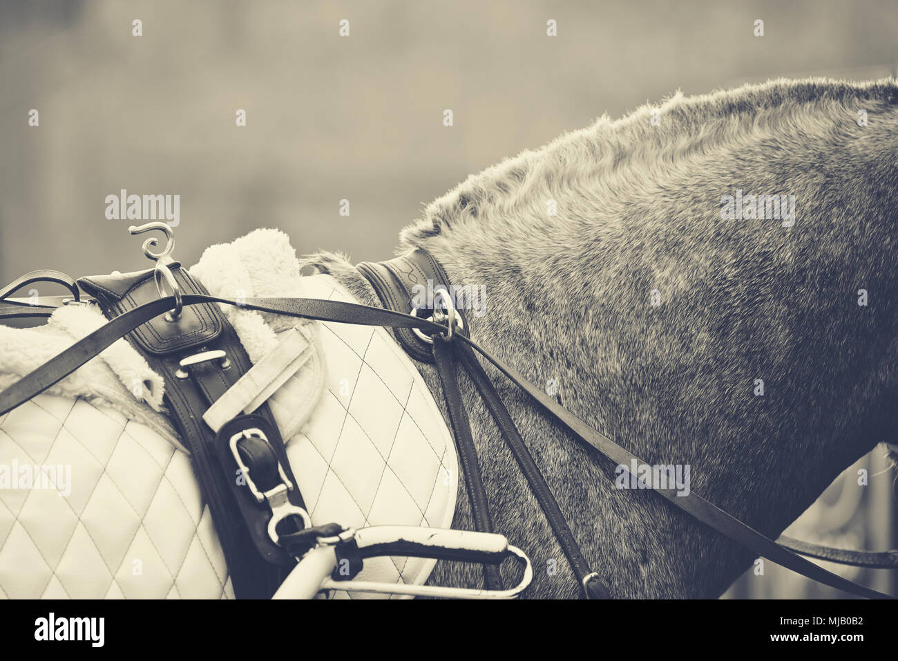 Horse-drawn transport. Neck of the gray horse harnessed in the carriage. - Stock Image