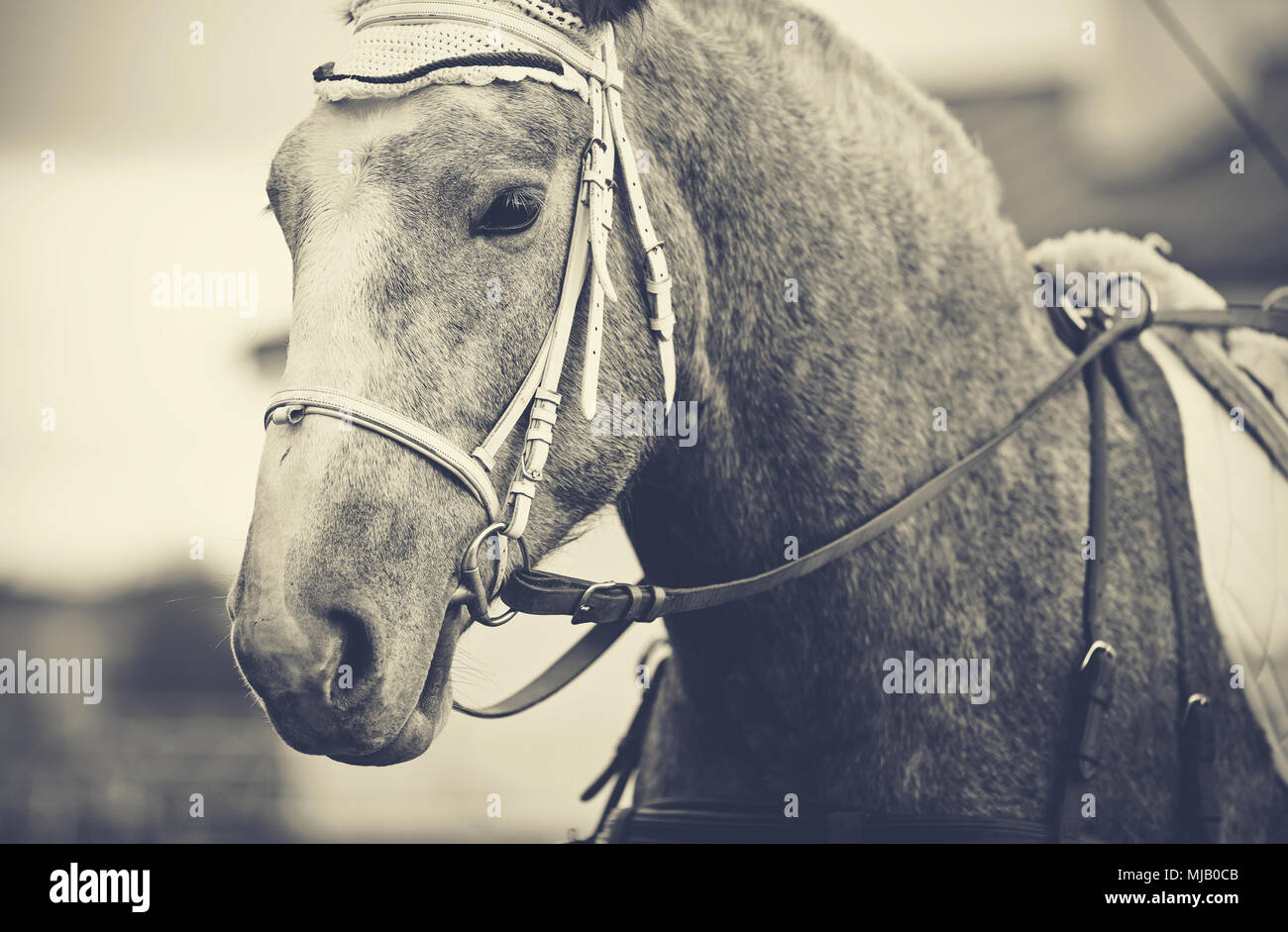 Portrait of a gray horse in a bridle. - Stock Image