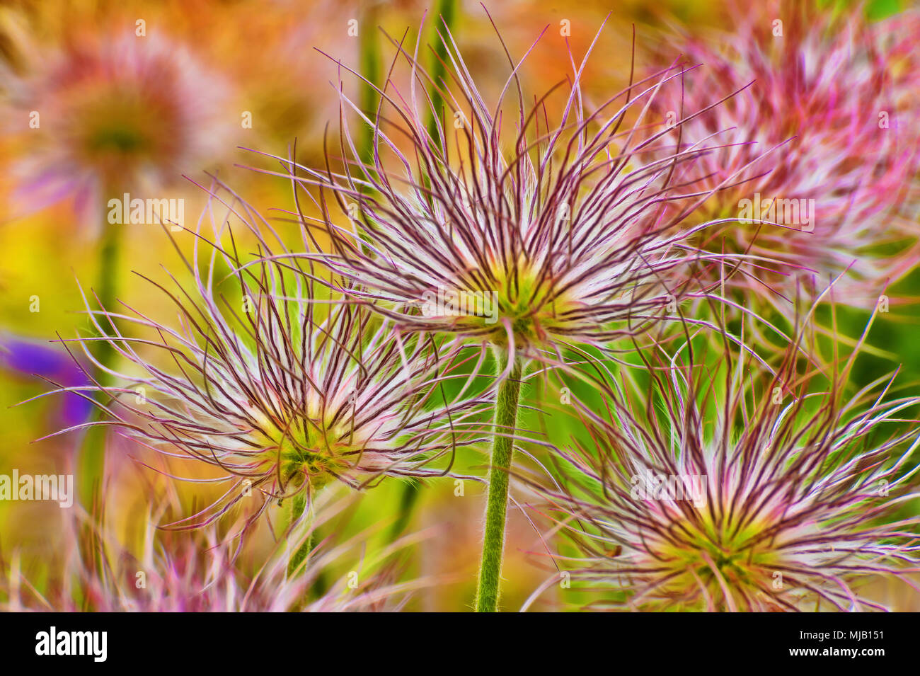 Stunning delicate yet bold Aster flowers in full bloom. Stock Photo