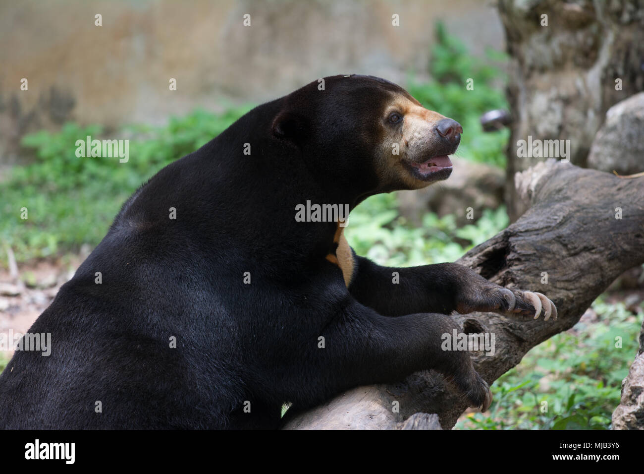 An asia black bear - Stock Image