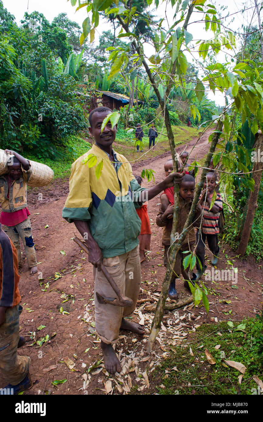 A coffee farmer, cutting coffee tree with axe - Stock Image