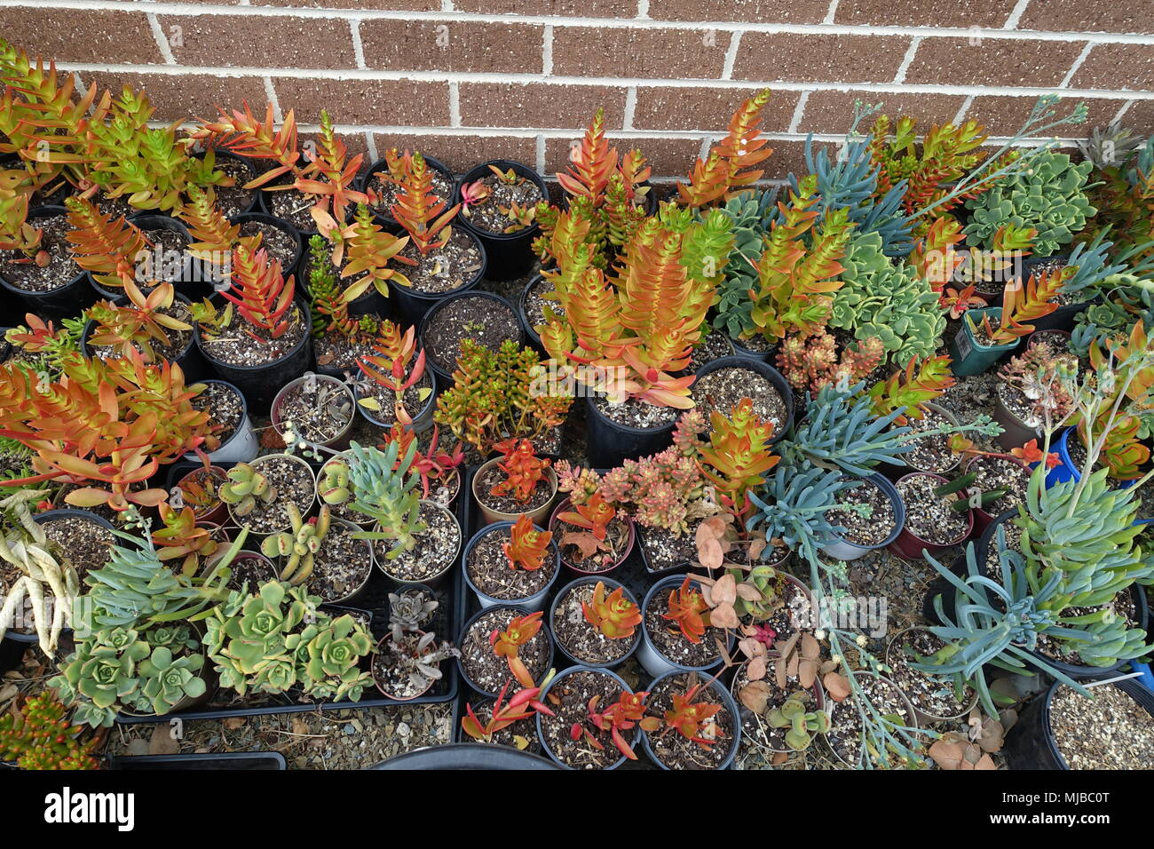 Mixed variety of succulent cuttings - Stock Image