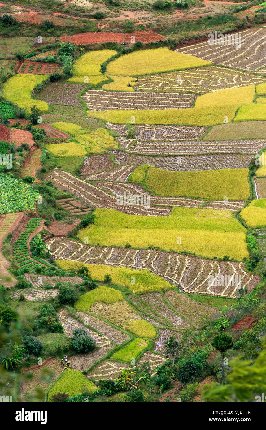 Paddy fields in the surroundings of Antananarivo, Madagascar - Stock Image