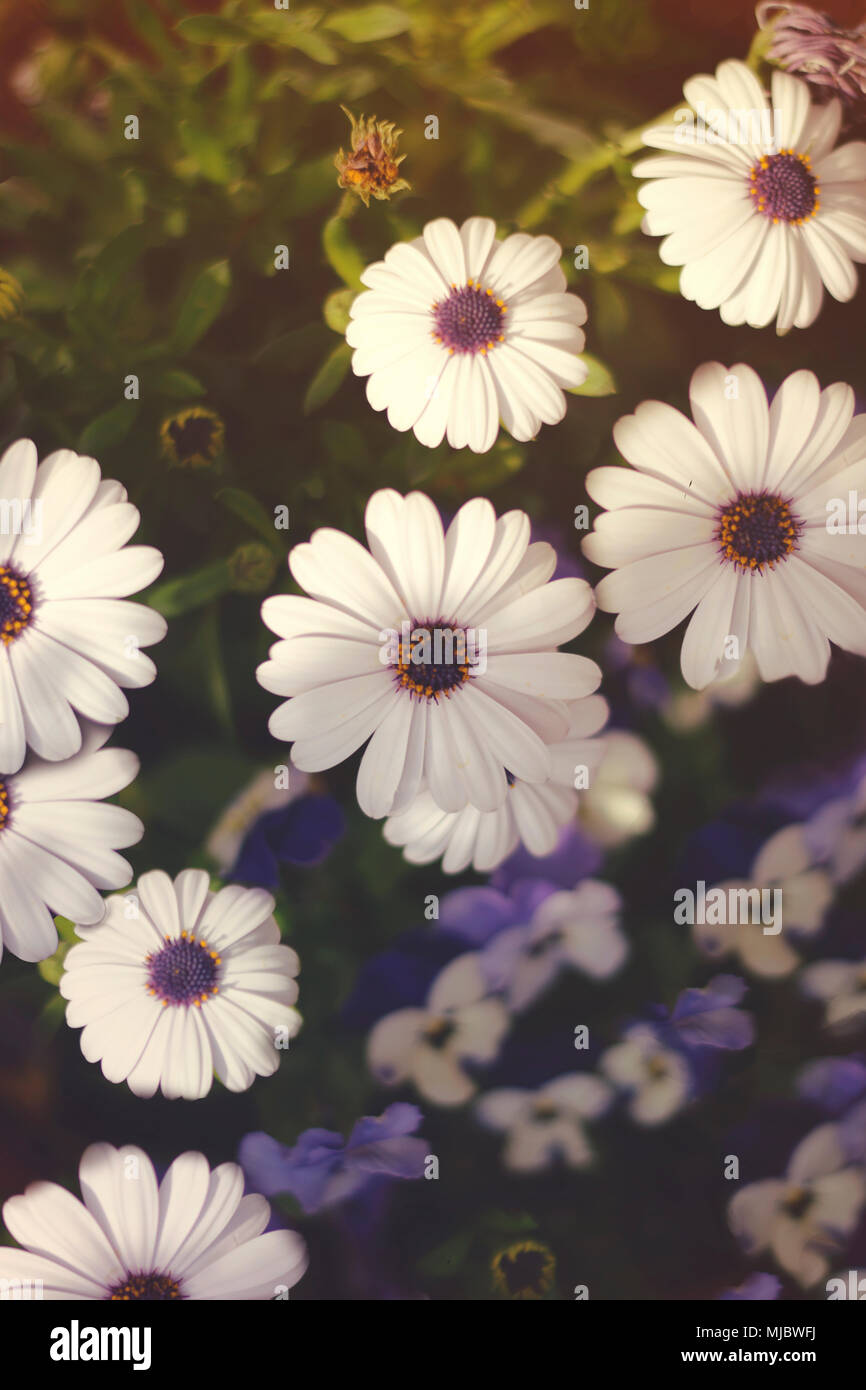 African daisies and bi-color pansies in background, golden light and sunflare - Stock Image
