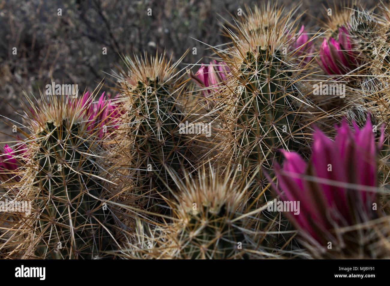 Arizona Cactus With Pink Flowers Stock Photo 183430381 Alamy