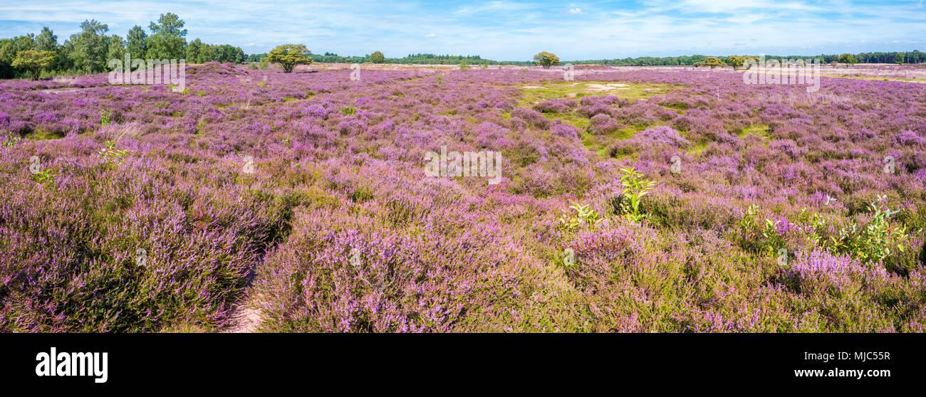 Panorama of purple blooming heath landscape in summer in nature reserve in Gooi between Hilversum and Laren, Noord-Holland, Netherlands Stock Photo