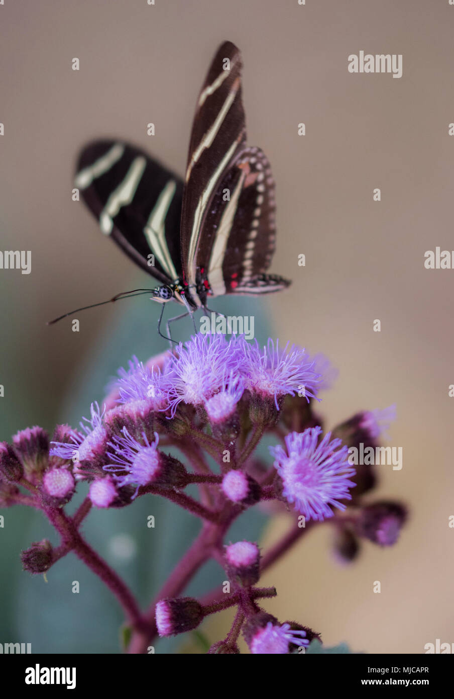 Beautiful red and black butterfly on flower - Stock Image