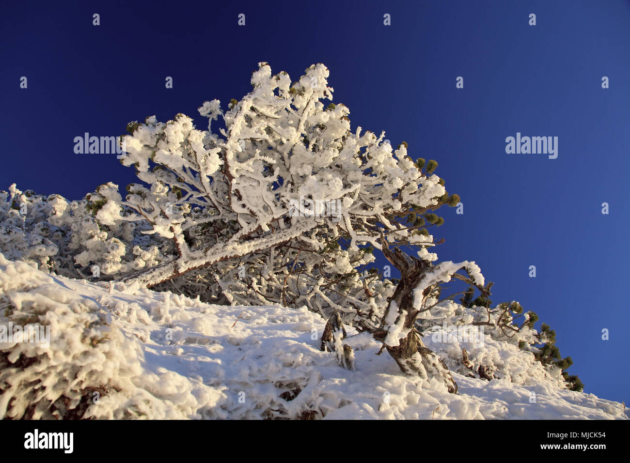 Snow-covered mountain pines, Herzogstand, Bavarian Alpine Foreland, alps, Alpine foreland, Bavarian uplands, Upper Bavaria, Bavaria, South Germany, Germany, - Stock Image