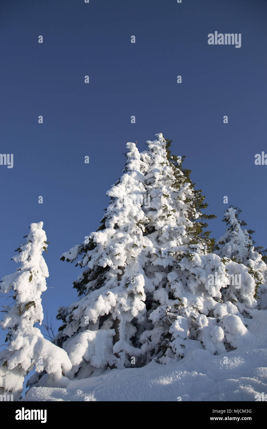 Snow-covered conifers on the Wallberg, Upper Bavaria, Bavarians, South Germany, Germany, - Stock Image