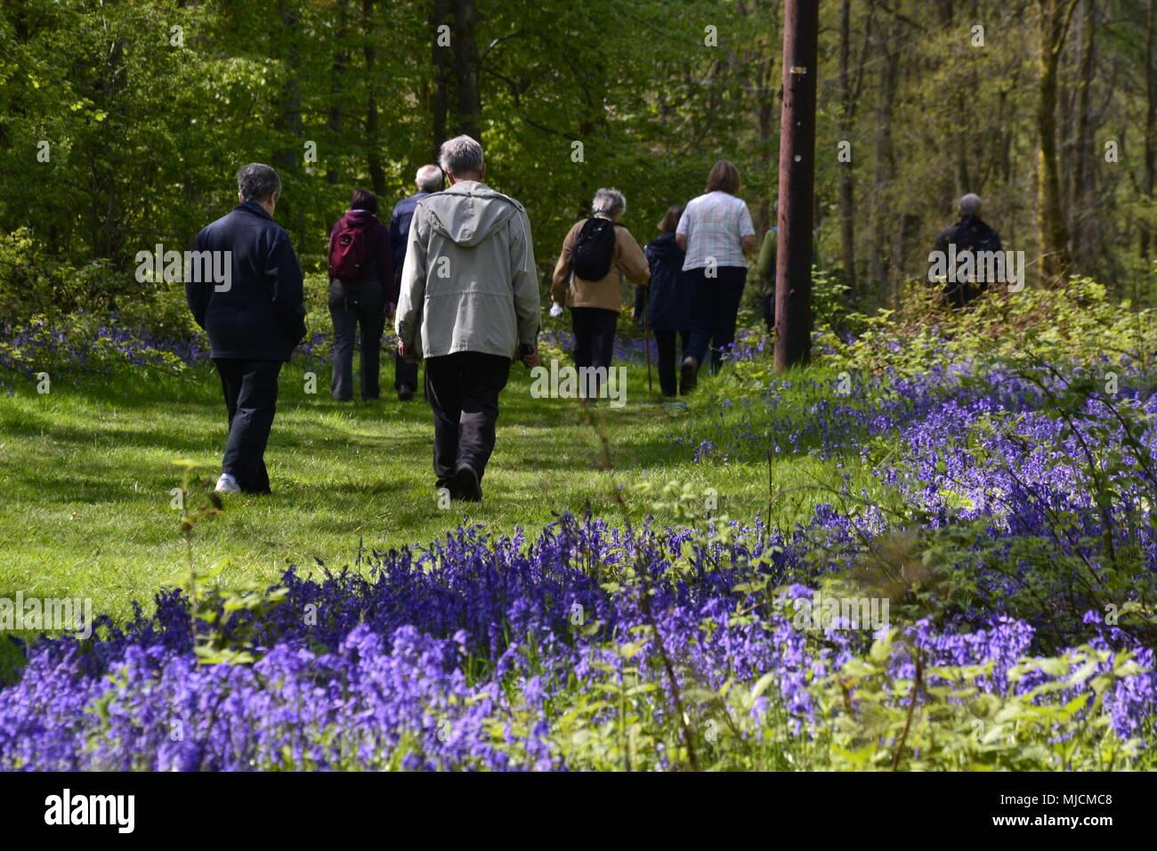 People walking through bluebells in Cowleaze Woods, England UK - Stock Image