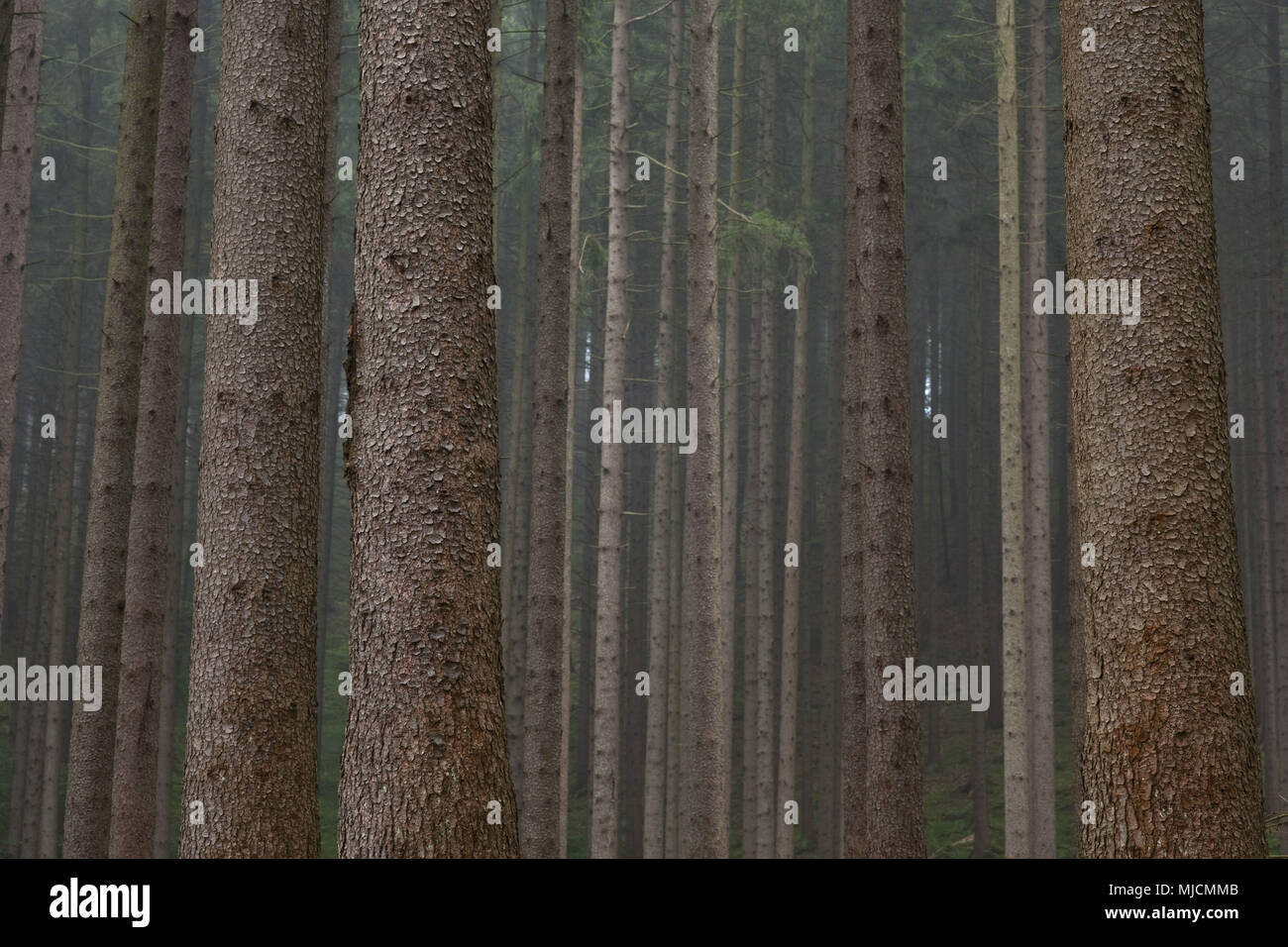 Conifer forest, Germany, - Stock Image
