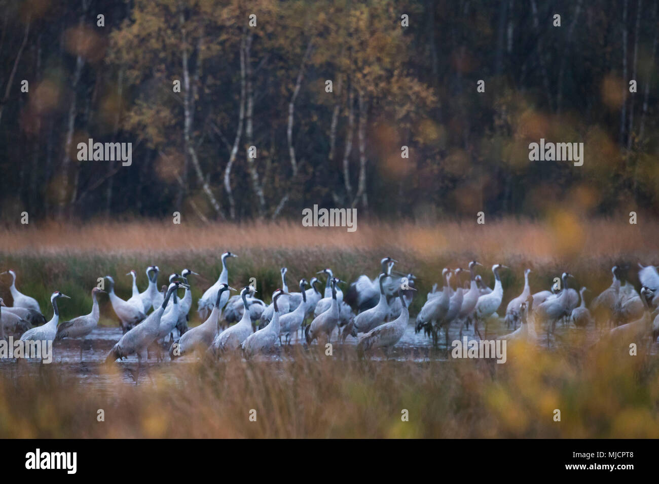 Cranes, grus grus, muster point - Stock Image