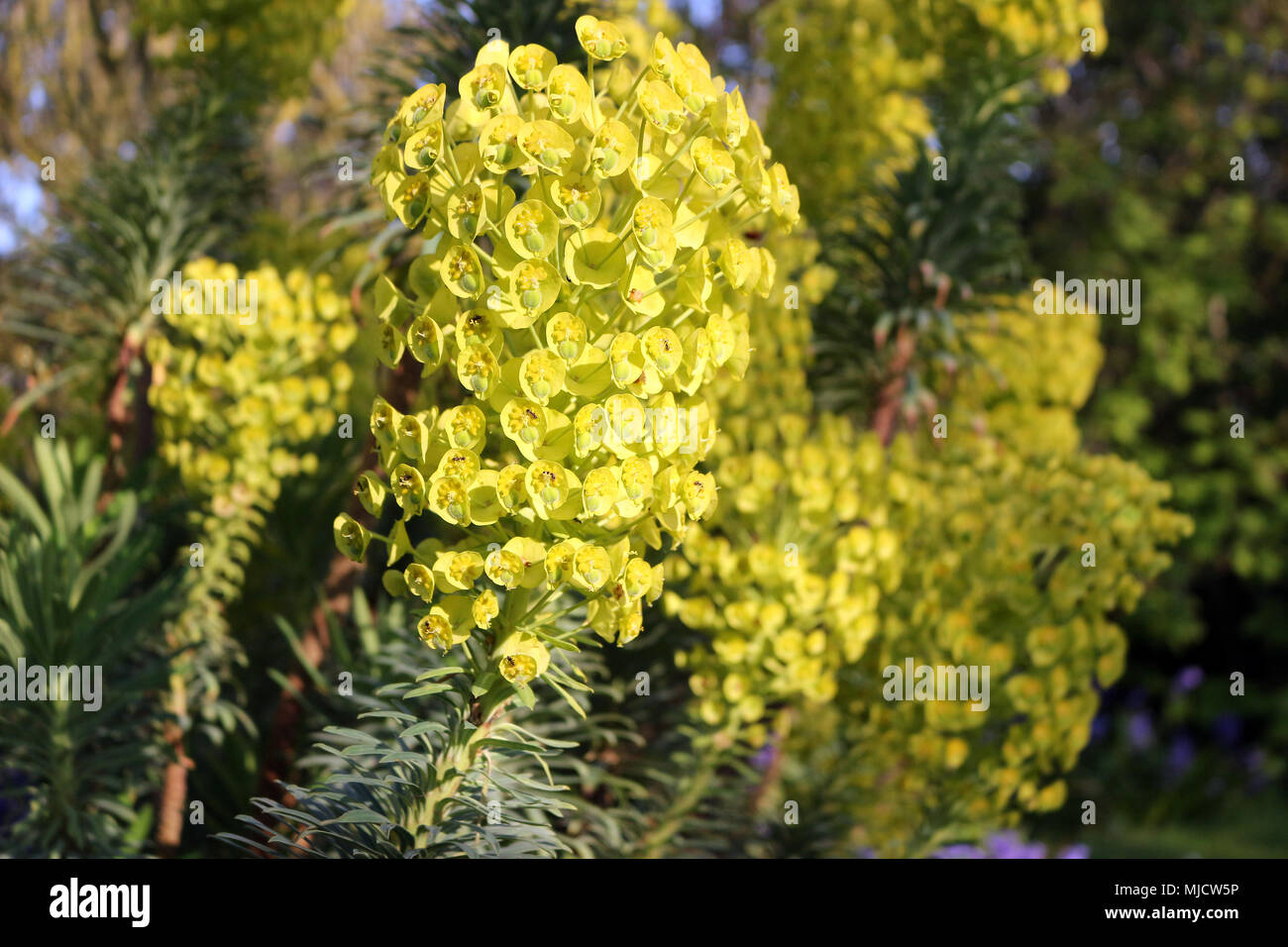 Yellow Mediterranean Spurge - Stock Image