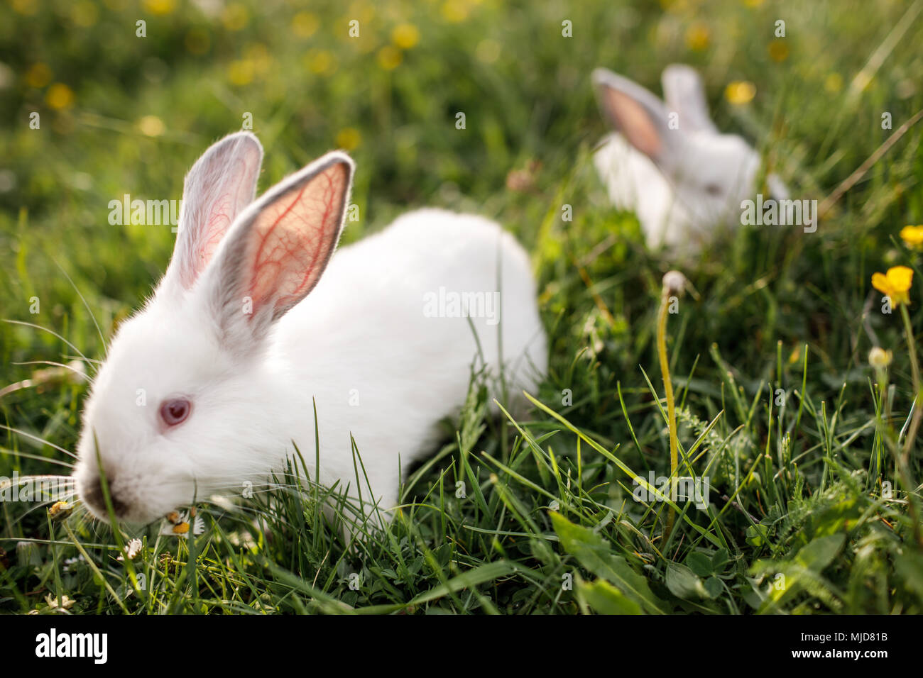 Baby white rabbit in spring green grass background - Stock Image