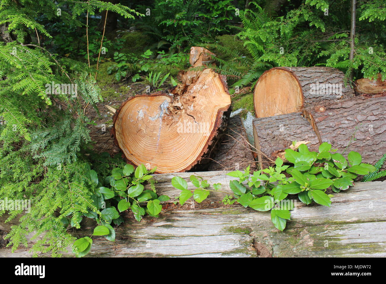 Tree trunk cut to show layers and its age. Capilano Park, Vancouver, BC, Canada. Stock Photo