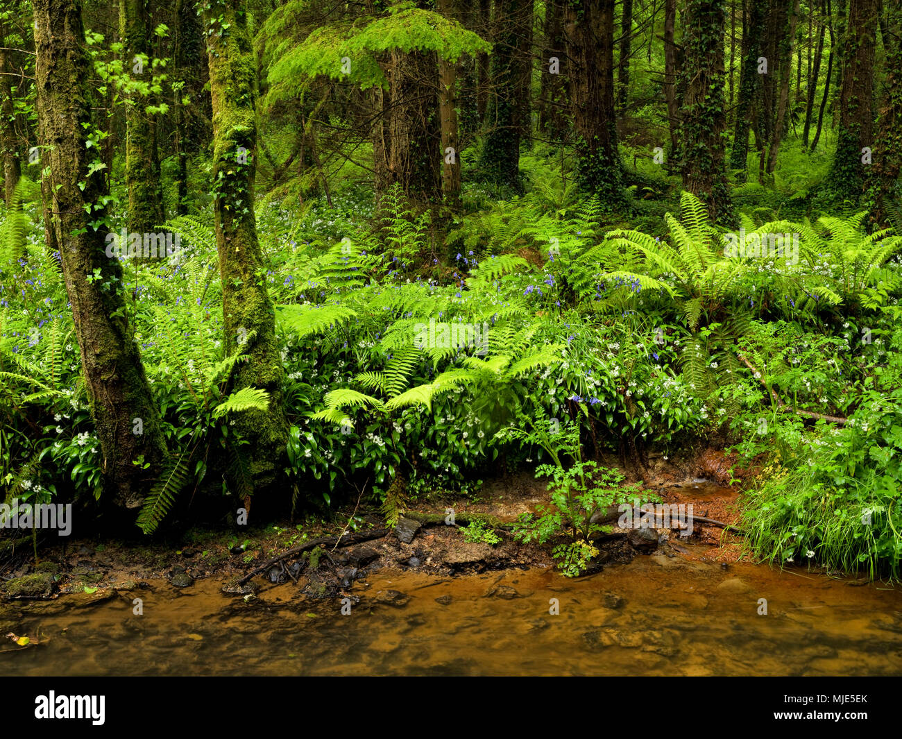 Ireland, Wexford county, stream course with blossoming wild garlic in the coastal primeval forest of the Hook pensinsula, forest of beeches, spruces, ferns, ivy - Stock Image
