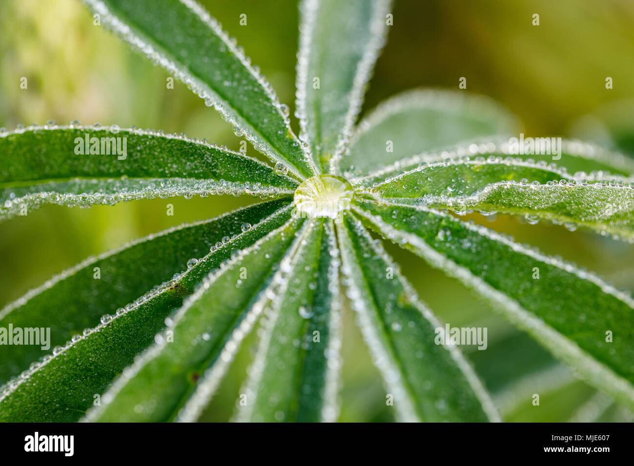 lupines leaf with drop of water, background image - Stock Image