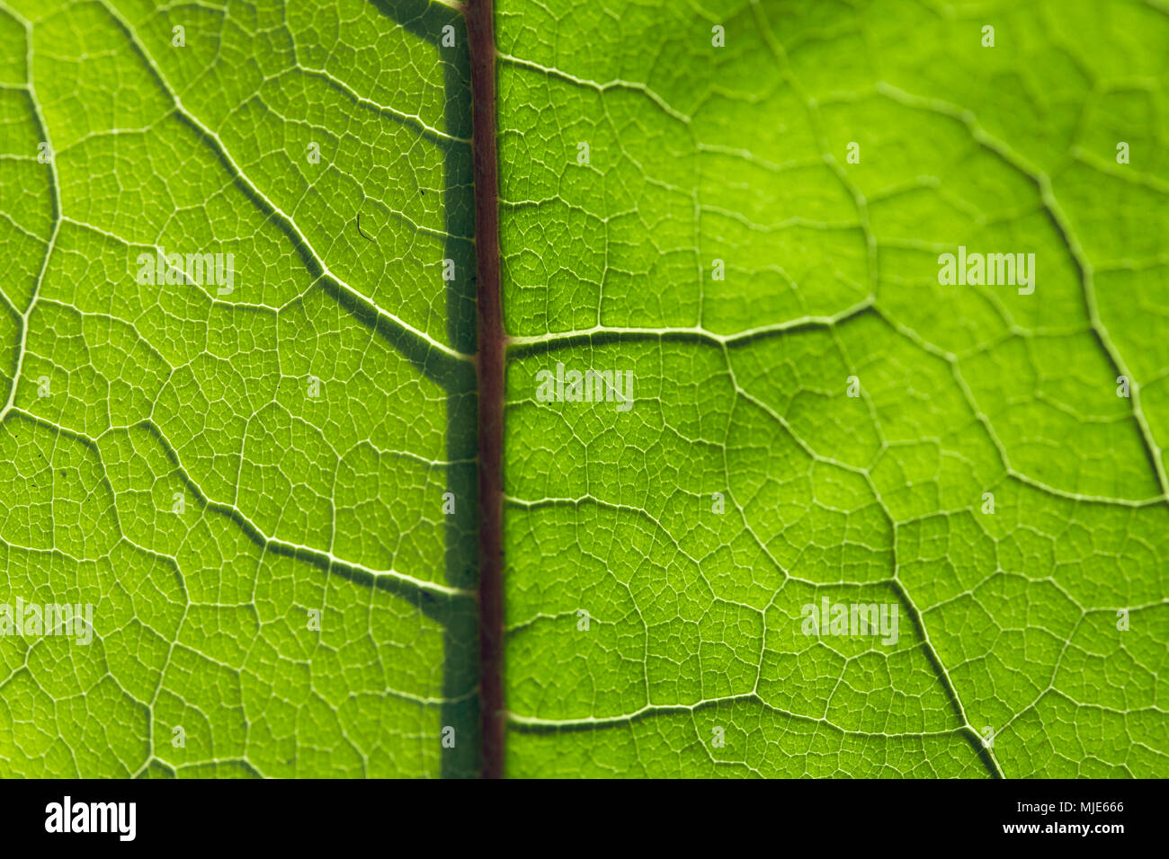 Branching veins of a green leaf, detail, close up - Stock Image