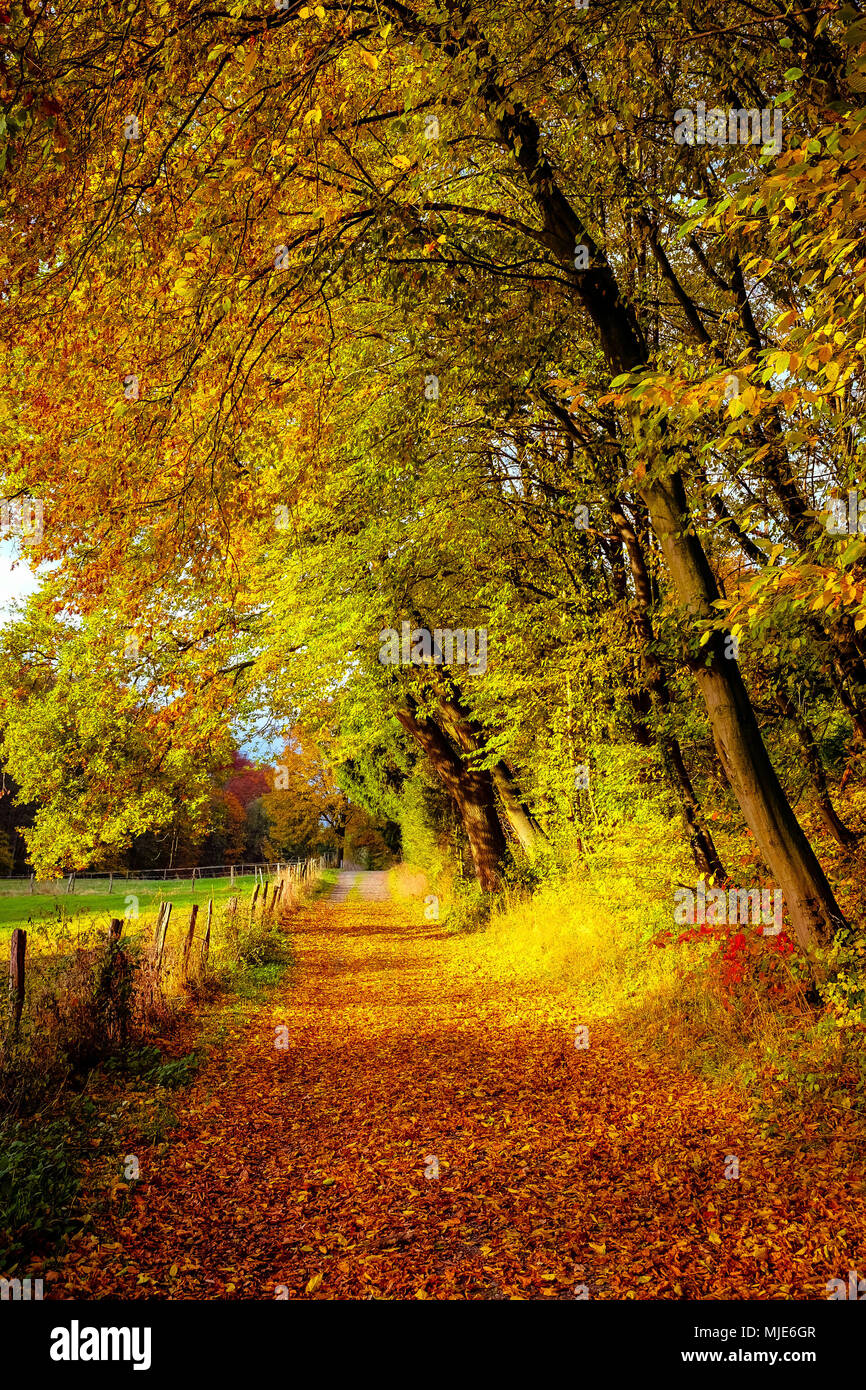 Golden autumn, sunny path covered with leaves, lined by trees with coloured autumn foliage Stock Photo