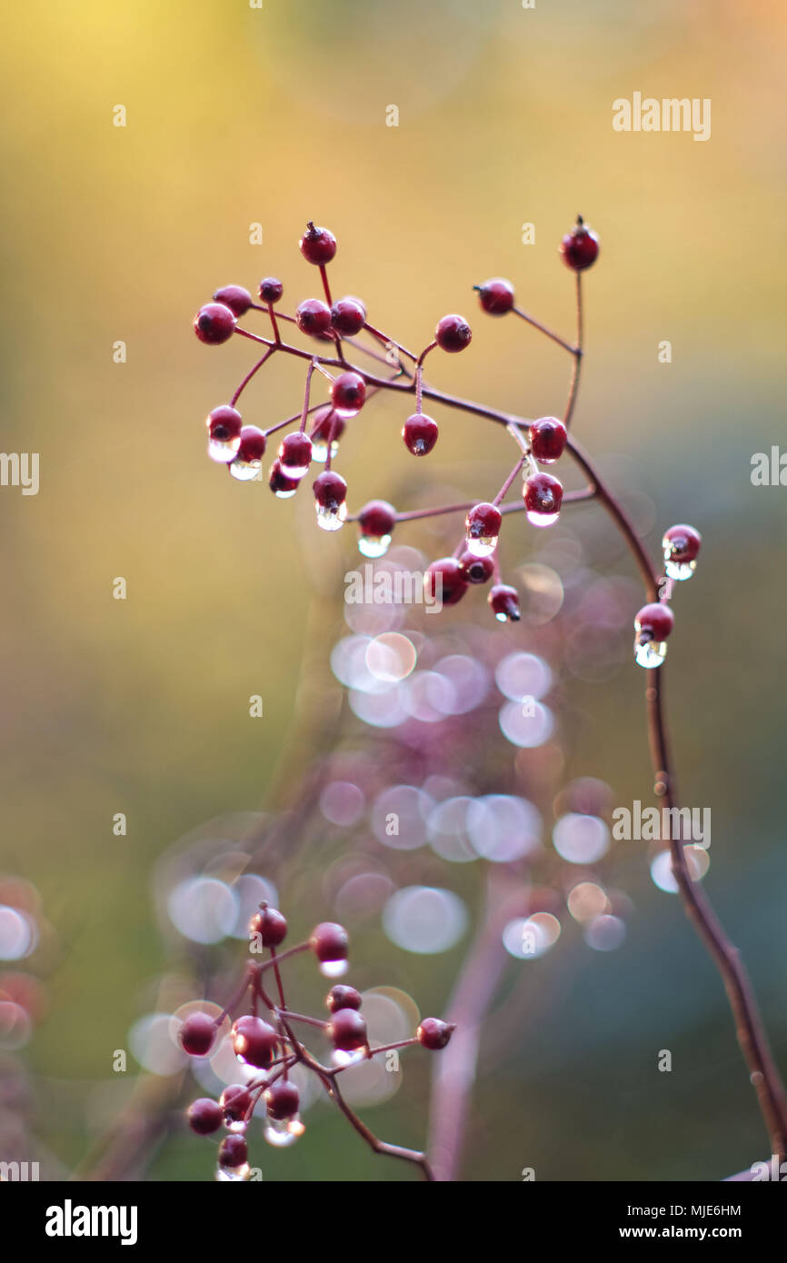 Autumn magic, branch with small rose hips, raindrops, blurred background with Bokeh - Stock Image