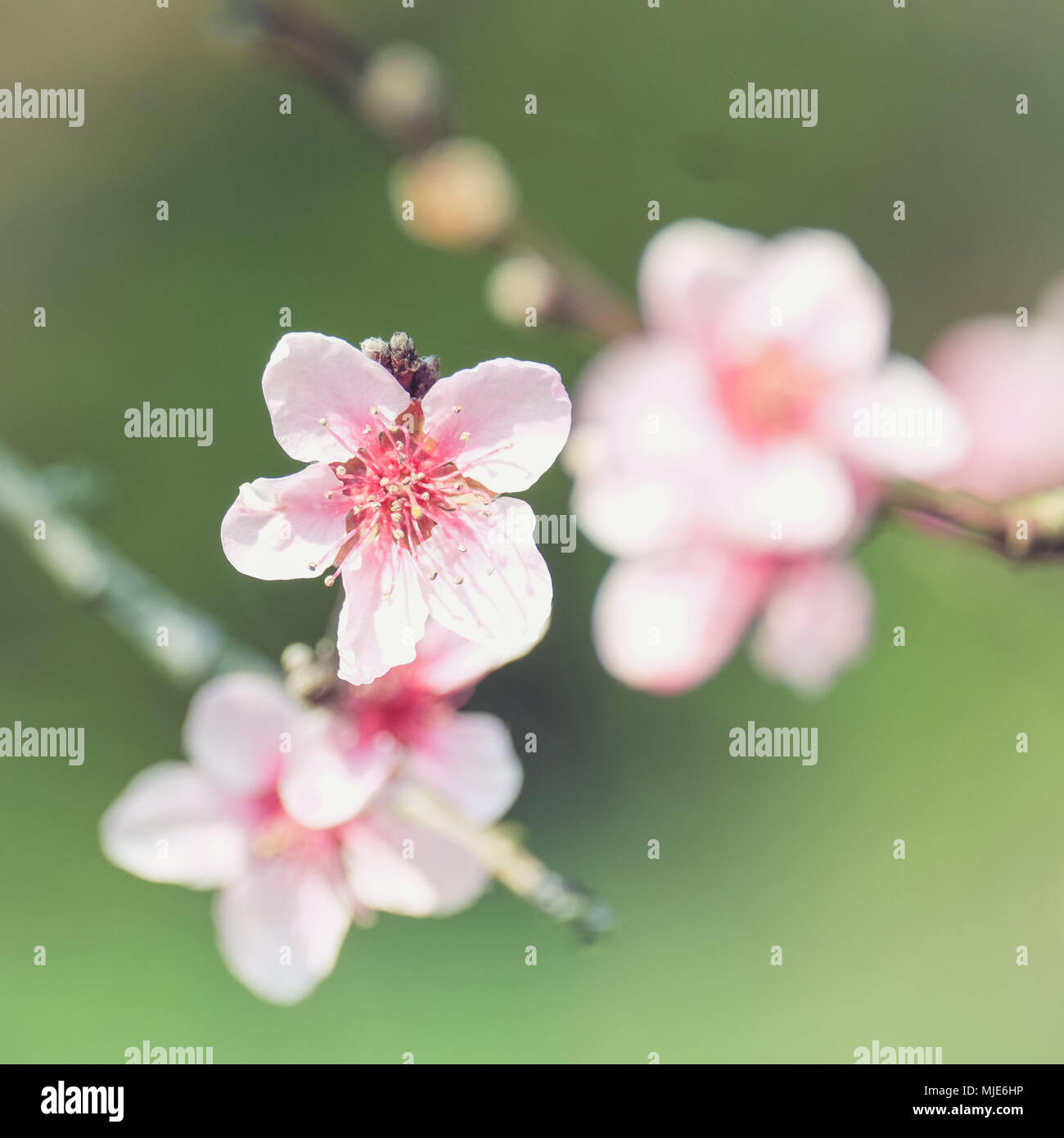 Spring magic, close-up of pink peach blossoms, blurred background - Stock Image