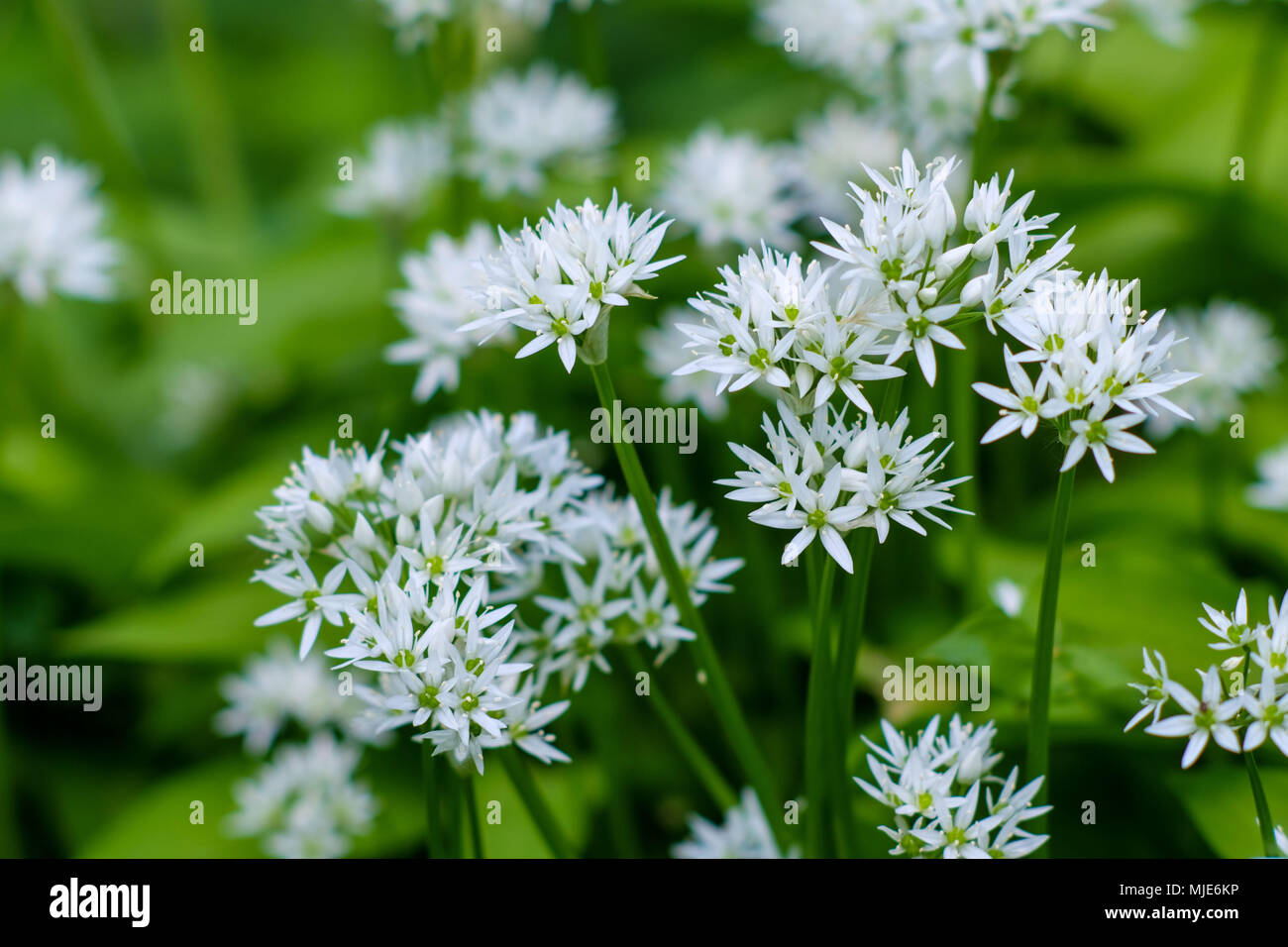 Close-up, wild garlic blossoms in natural surroundings - Stock Image