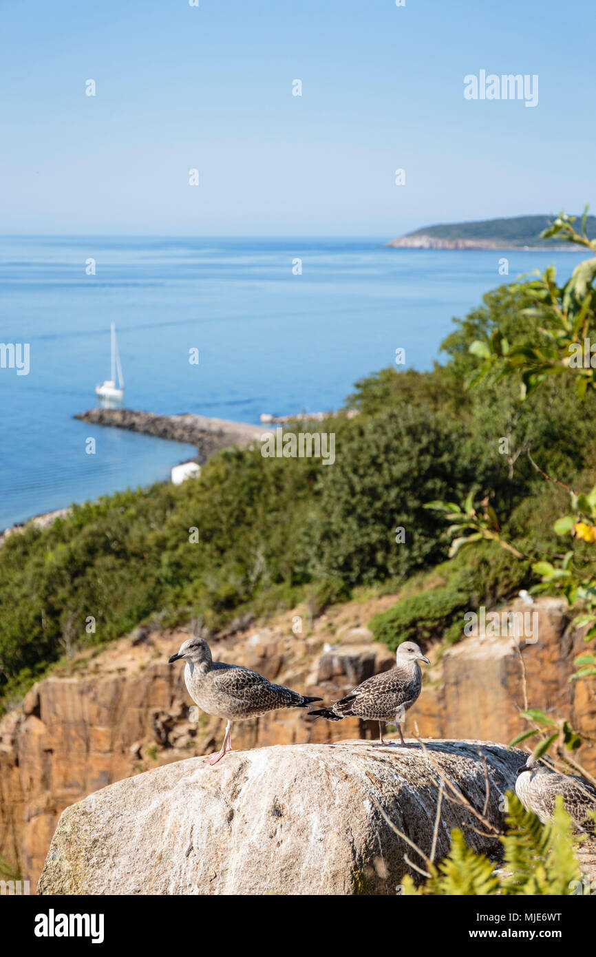 Young herring gulls (Larus argentatus) over the old granite quarry of Vang, behind the harbour, Europe, Denmark, Bornholm, - Stock Image