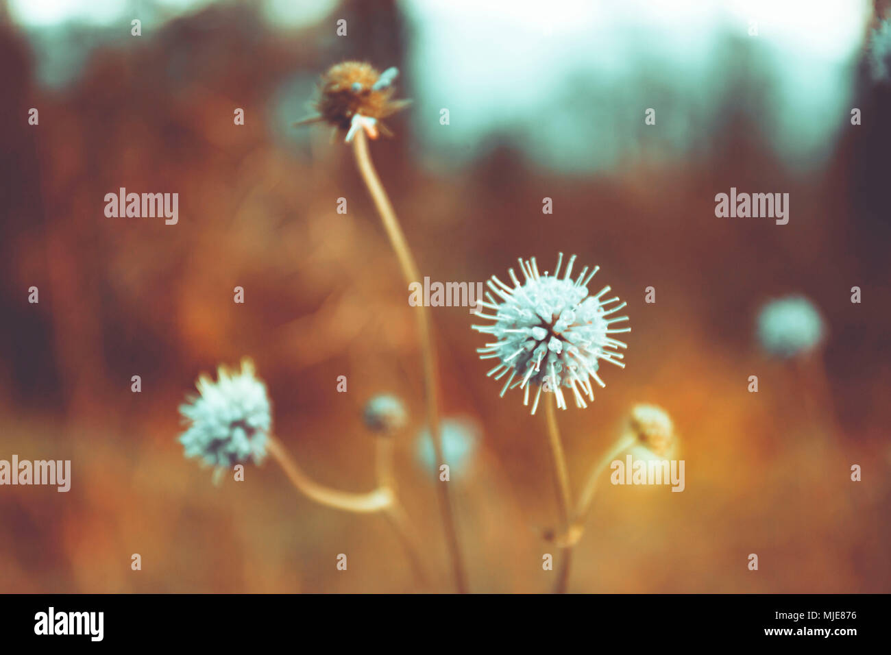 Meadow blossom in autumn landscape, autumn landscape - lonely and enchanted - Stock Image