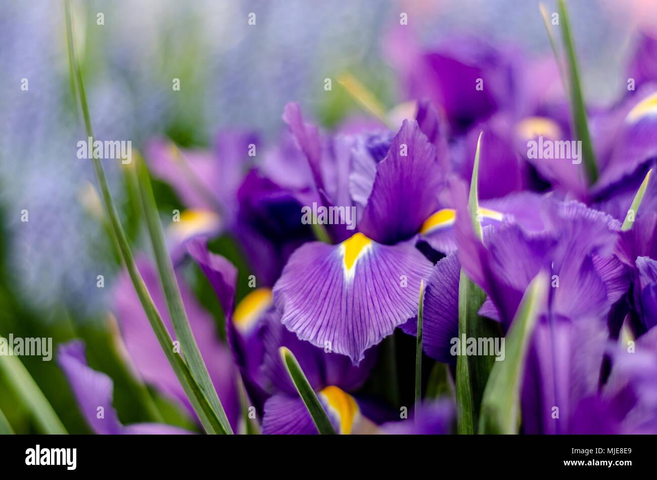 Lila Iris - Stock Image