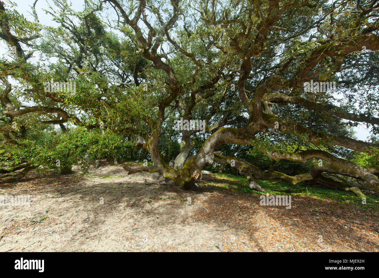 mighty holly oak grows on dune - Stock Image