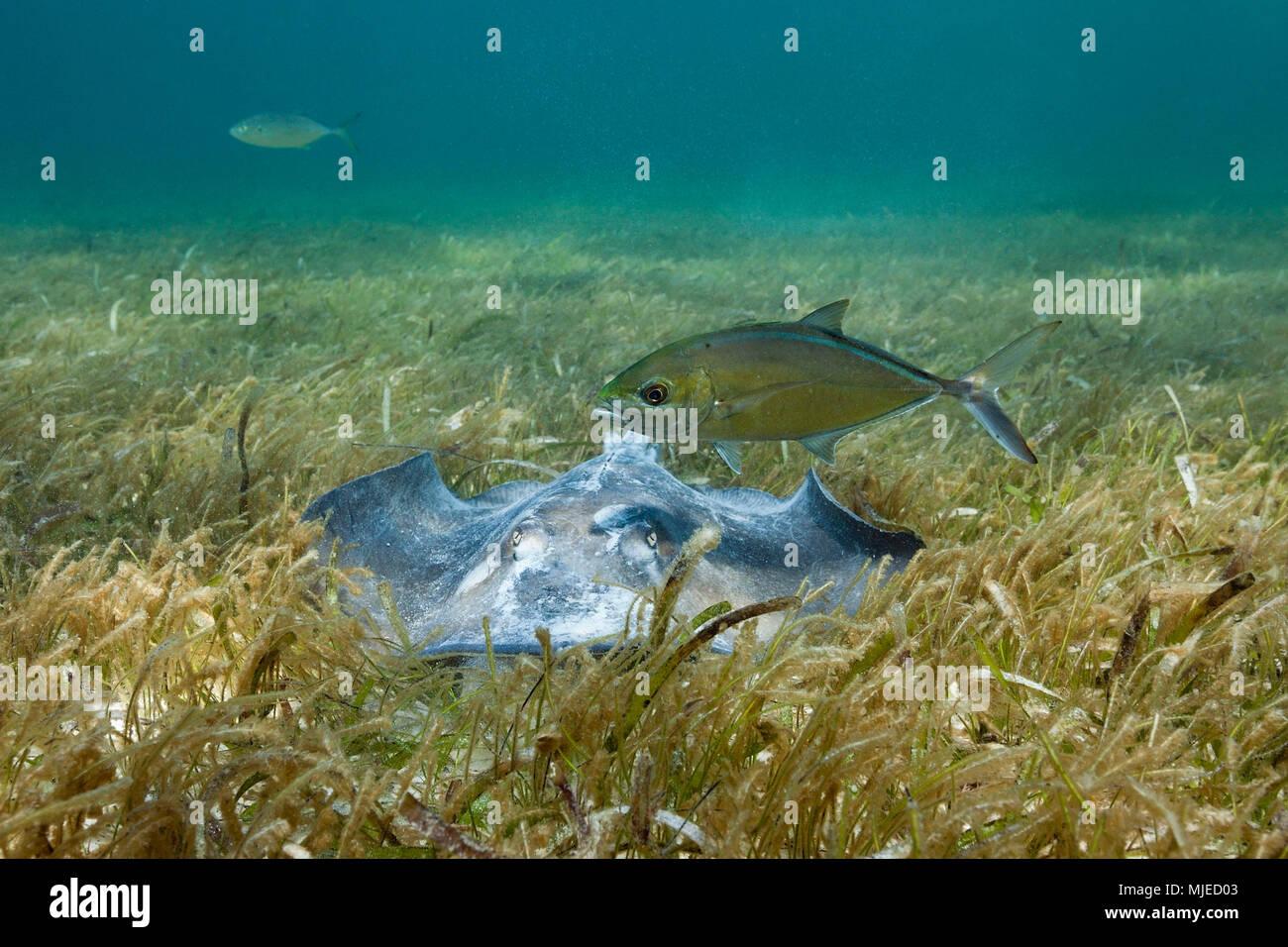 Southern Stingray on Seagrass, Dasyatis americana, Akumal, Tulum, Mexico - Stock Image