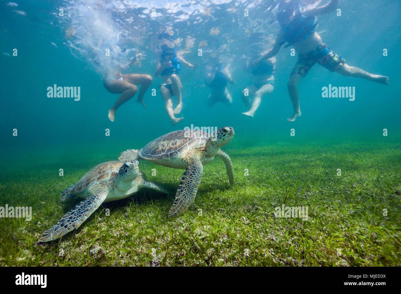 Snorkelers watching Green Sea Turtle, Chelonia mydas, Akumal, Tulum, Mexico Stock Photo