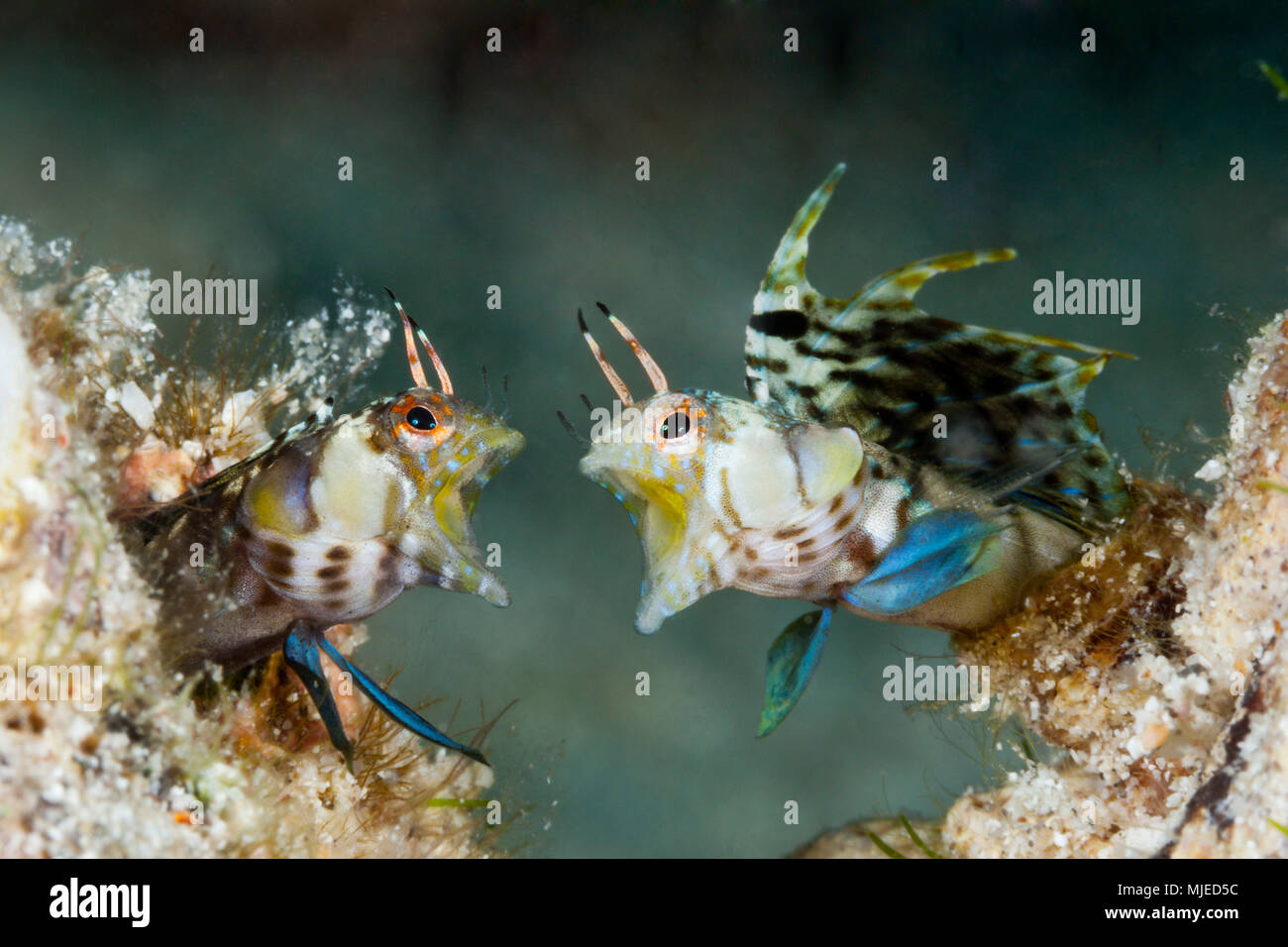 Elusive Signal Blennies in threatening posture, Emblemaria walkeri, La Paz, Baja California Sur, Mexico - Stock Image