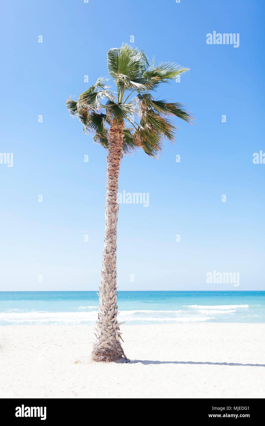 Dubai, palm tree at Jumeirah beach - Stock Image