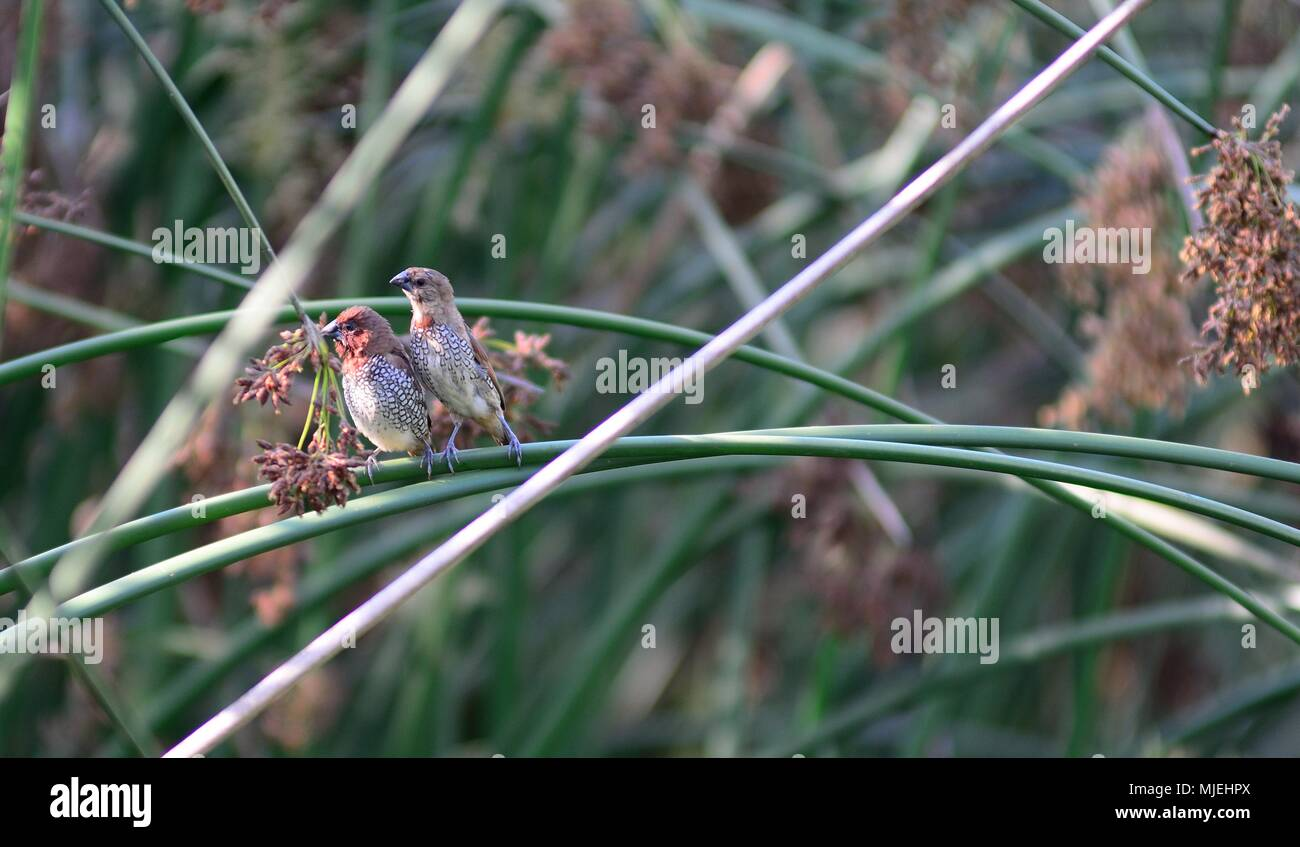 Pair of Scaly-Breasted munia perched on a reed - Stock Image