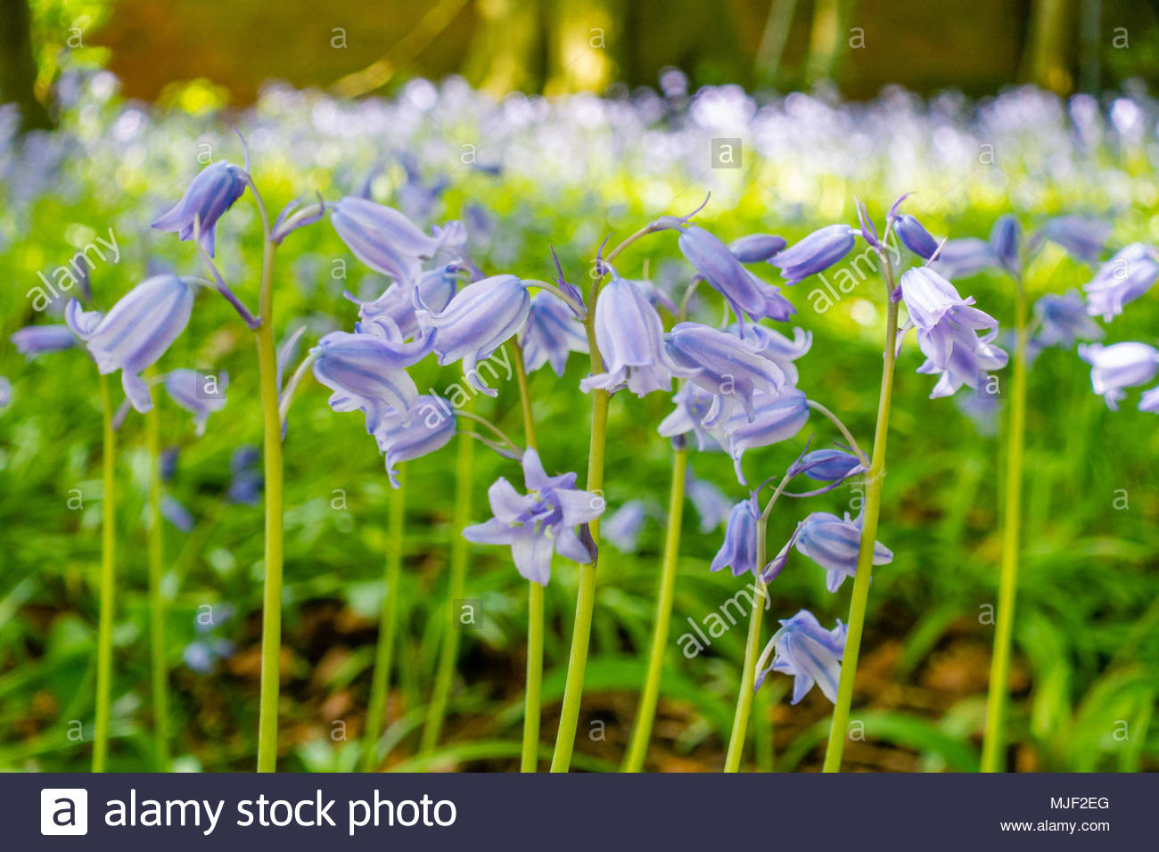 English Spring Bluebells (Hyacinthoides non-scripta) in the sunshine on the Bank Holiday Mayday Weekend at Croxteth Hall, Croxteth Country Park, Liverpool England UK Credit: Christopher Canty Photography/Alamy Live News - Stock Image
