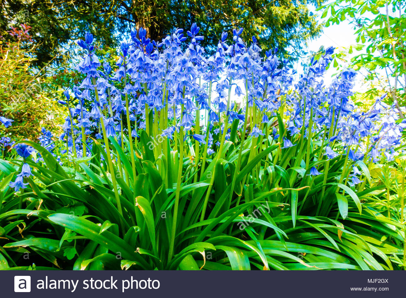 Croxteth Hall, Liverpool, UK 5 May 2018. UK Weather Croxteth Hall, Liverpool England UK 05/05 2018 Spring Spanish Bluebells (Hyacinthoides hispanica) in the sunshine on the Bank Holiday Mayday Weekend at Croxteth Hall, Croxteth Country Park, Liverpool England UK Credit: Christopher Canty Photography/Alamy Live News - Stock Image