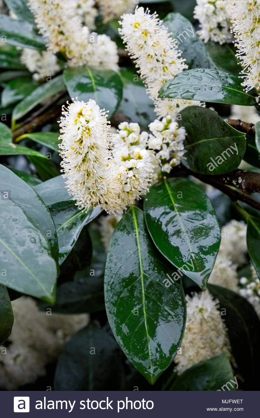 Blossoms on Kirschlorbeer, or cherry laurel, Prunus laurocerasus, in springtime with raindrops Stock Photo